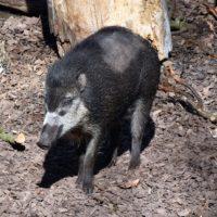 Sangliers des Visayas au Zoo de Bâle