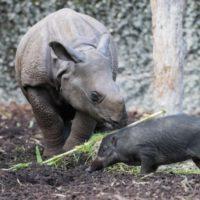 Visayas-Pustelschweine im Zoo Basel
