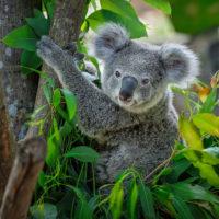 Koalas in Zürich
