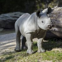 Rhinocéros noir du Zoo de Zurich relâché au Rwanda