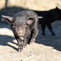 Naissance chez les cochons Noirs des Alpes à Goldau