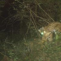 Le lynx «de Goldau» a été relâché avec succès