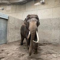 Un nouvel éléphant mâle au Knies Kinderzoo