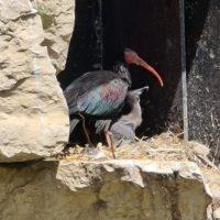 Zoo La Garenne: Naissances d'ibis chauves