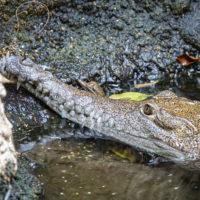 Jeunes crocodiles au zoo de Bâle