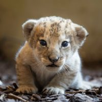 Jeunes lions berbères au Walter Zoo