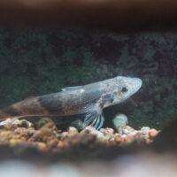 Nouveau au Zoo de Bâle: le poisson le plus rare de Suisse