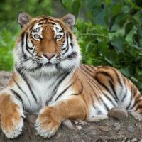 Tödlicher Vorfall mit Tiger im Zoo Zürich