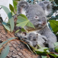 Zoo de Zurich: Premier jeune Koala en Suisse!