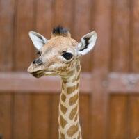 Seltene Kordofan-Giraffe im Zoologischen Garten Basel geboren