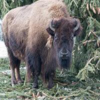 Zootiere mögen keine Weihnachtsbäume