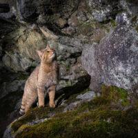 Die vom Zoo La Garenne gepflegte Wildkatze ist wieder gesund