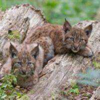 Jeunes lynx dans le Parc naturel périurbain de Zurich